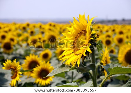 sunflowers field with one big flower closeup on horizon background - stock photo