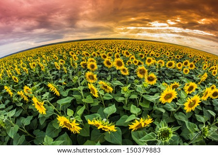 Sunflowers filed at sunset - stock photo