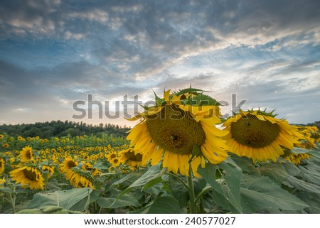 Sunflowers growing in a field on a summer day near the Blue Ridge Parkway in Western North Carolina. - stock photo