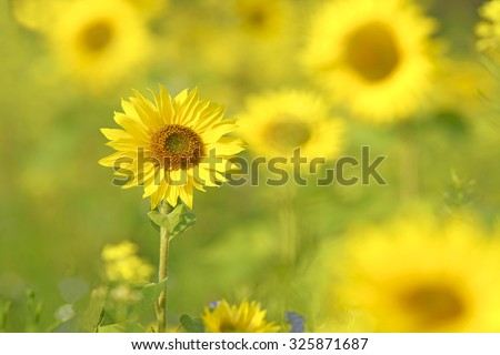 Sunflowers, Helianthus annuus, selective focus and diffused background, grown as a crop for its edible oil and edible fruits, this sunflower is also used as bird food, The Cotswolds Gloucestershire UK - stock photo