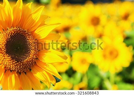 sunflowers in a sunflower field - stock photo