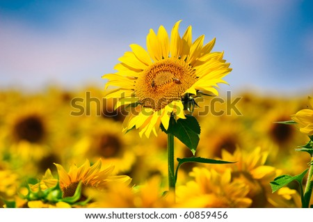 Sunflowers in field - stock photo