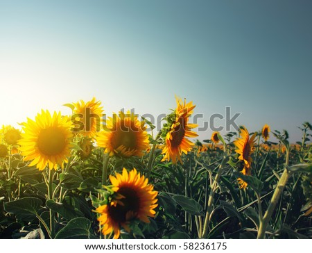 Sunflowers in field and blue clear sky - stock photo