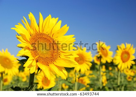 sunflowers in the field in summer - stock photo
