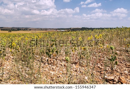 Sunflowers in the spanish province of Cuenca, with trees in the background - stock photo