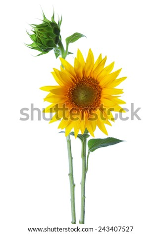 Sunflowers  isolated on a white background - stock photo