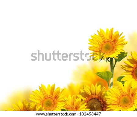 sunflowers isolated on white - stock photo
