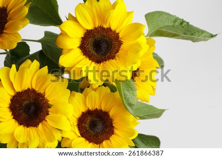 sunflowers on white background - stock photo
