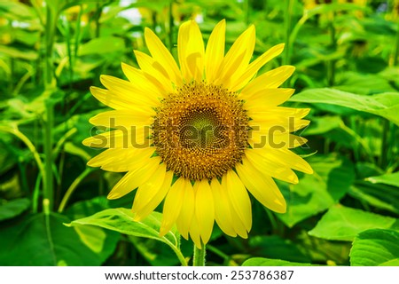 Sunflowers or Helianthus annuus field. It  is an annual plant in the family Asteraceae with a large flower head. - stock photo