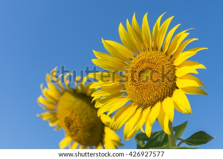 Sunflowers,Sunflowers blooming against a bright sky,Sunflowers,Sunflowers blooming ,beautiful sunflowers,big sunflowers ,Unseen Thailand flowers,yellows flowers - stock photo