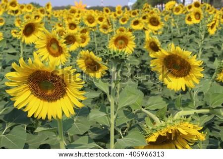 Sunflowers,Sunflowers blooming against sunshine. - stock photo