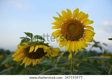 Sunflowers,Sunflowers blooming on the morning time,Sunflowers fresh, beautiful sunflowers, Twin sunflowers on the blue sky background  - stock photo