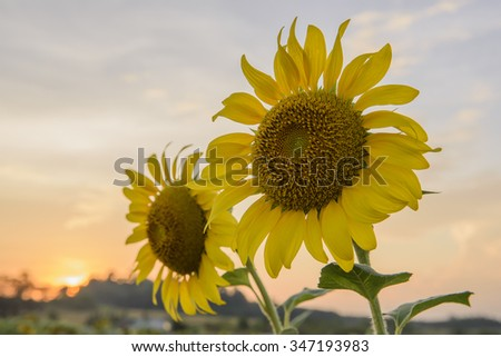 Sunflowers,Sunflowers blooming on the morning time,Sunflowers fresh, beautiful sunflowers,Twin sunflowers on the sunset background  - stock photo