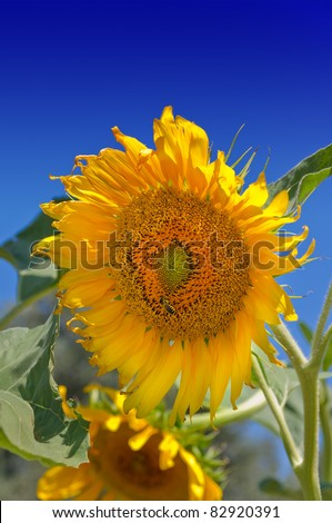 sunflowers with blue sky background - stock photo