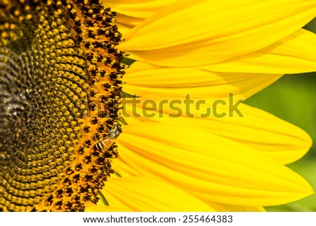 Sunflowers with Bumble Bee collecting nectar and pollen of flowers mixed. - stock photo