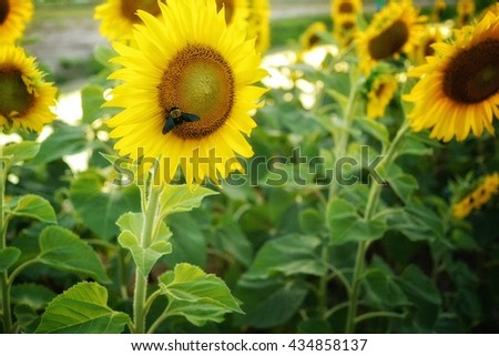 sunflowers with insect - stock photo