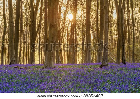 Sunlight bursting through the trees just after dawn in a beech woodland full of bluebells near to Micheldever in Hampshire, England. - stock photo