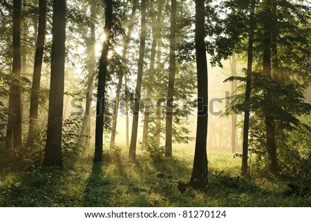 Sunlight enters the deciduous forest on a misty morning after the rain. - stock photo