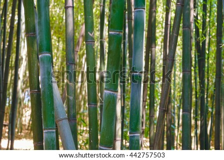 Sunlight filters through a Bamboo forest showing the various colors of the bark from brown to green - stock photo