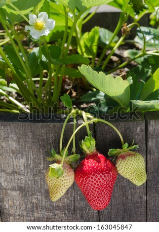 Sunlight filters through leaves, highlighting ripening strawberries growing in an oak barrel - stock photo