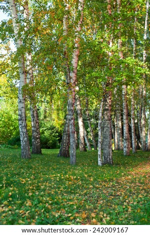 Sunlight in summer birch forest - stock photo