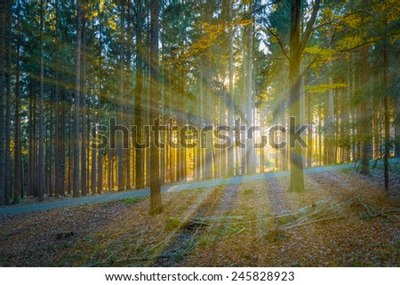 Sunlight in the coniferous forest - stock photo