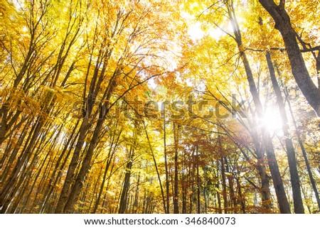 Sunlight in the golden autumn beech forest  - stock photo