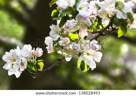 Sunlight on branch with appleblossom on appletree in spring - horizontal - stock photo