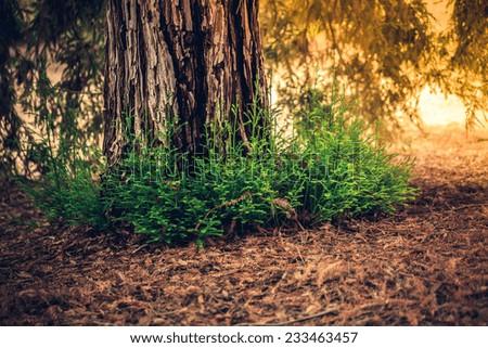 Sunlight on the Redwood Tree Trunk, California - stock photo