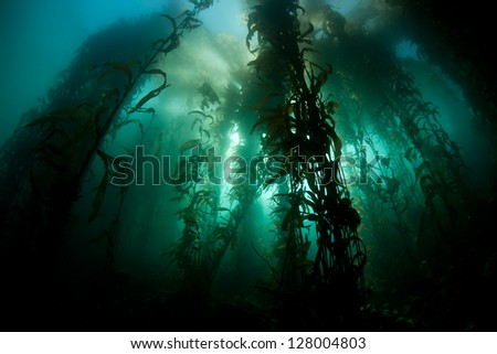 Sunlight pierces the canopy of a healthy kelp forest in Monterey Bay, California.  Eastern Pacific kelp forests provide habitat for a wide variety of fish and invertebrates. - stock photo