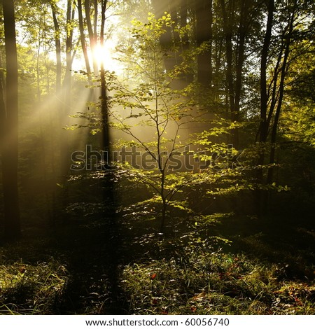 Sunlight rays in the forest - stock photo
