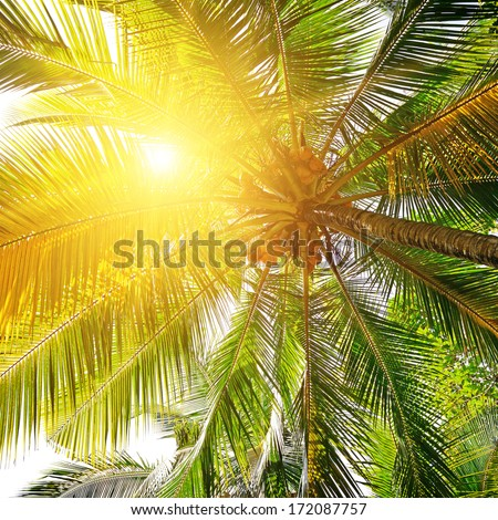 sunlight through the leaves of palm trees                                     - stock photo