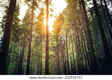 Sunlight Through the Tree Tops, Mariposa Grove, Yosemite National Park, California - stock photo