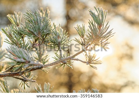 Sunlight thru spruce branch covered in frost during a cold winter day. - stock photo