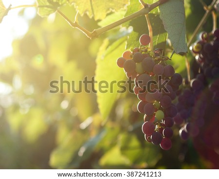 Sunlights in the morning on Bunch of grapes on vineyard - stock photo