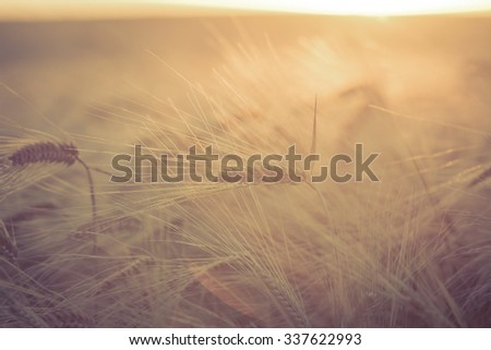 Sunlit Barley/A field of ripe and ready to harvest barley is sunlit by the evening summer sun. - stock photo