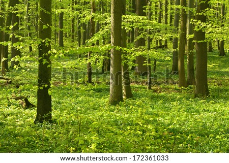 Sunlit Beech Tree Forest in Spring - stock photo