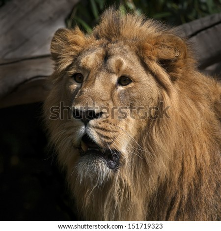 Sunlit face of an Asian lion. Menacing stare of the King of beasts. The head and shoulder under splendid and shaggy mane of the most dangerous and biggest cat. - stock photo