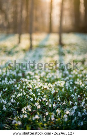 Sunlit forest full of snowdrop flowers in spring season - stock photo