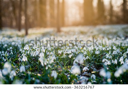 Sunlit forest full of snowdrop flowers in spring season - photo with extremely blurred background - stock photo
