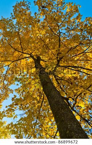 Sunlit maple tree in Pennsylvania - stock photo