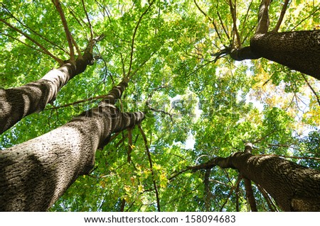 Sunlit maple trees from below - stock photo