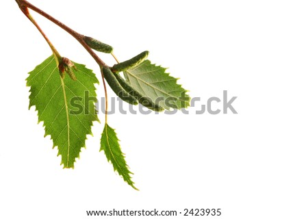 Sunlit silver birch leaves, isolated on white - stock photo
