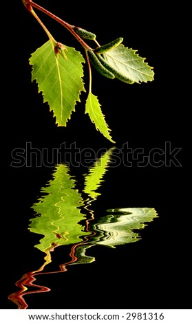 Sunlit silver birch leaves, reflected, with black background. - stock photo