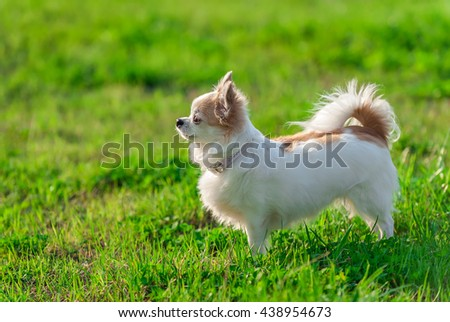 sunny  Chihuahua dog with  glamorous  pink collar on summer  nature background   - stock photo