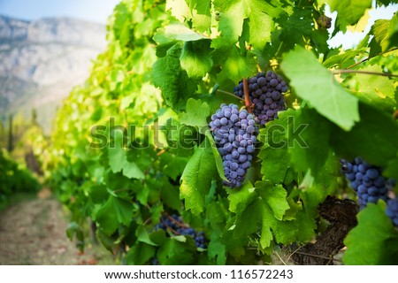 Sunny grape yard in quiet valley between mountains - stock photo