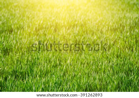 Sunny green grass  field suitable for backgrounds or wallpapers, natural seasonal landscape - stock photo