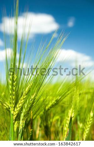 Sunny green wheat field macro - stock photo