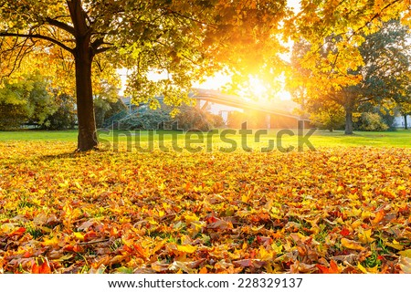 Sunny maple leaves in the autumn park - stock photo