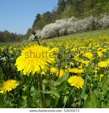 sunny meadow with flowering dandelions, Poland - stock photo